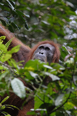 <p>The Sumatran orangutans are threatened by the loss of their natural habitats.</p>