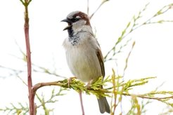 Hormones are important signaling molecules. The nestling number of the house sparrow depends on prolactin and corticosterone.