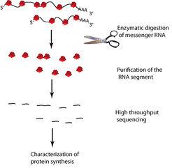 <strong>Abb. 3: Ribosomen-Profiling – schematische Darstellung<br /></strong>Ribosomen (rot) lesen Boten-RNS (schwarz). Durch enzymatischen Verdau wir