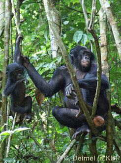 In female bonobos sexual swellings do not always signal fecundity or imminent ovulation.