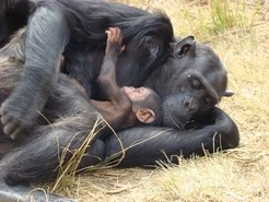 Chimpanzee mother with 1-month-old infant.