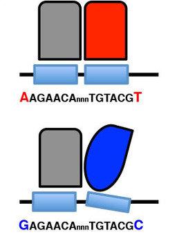 Änderungen in der DNA-Sequenz der Bindungsstelle des Glukokortikoid-Rezeptors (schwarze Linie mit hellblauen Flächen) verändern die Struktur der DNA.