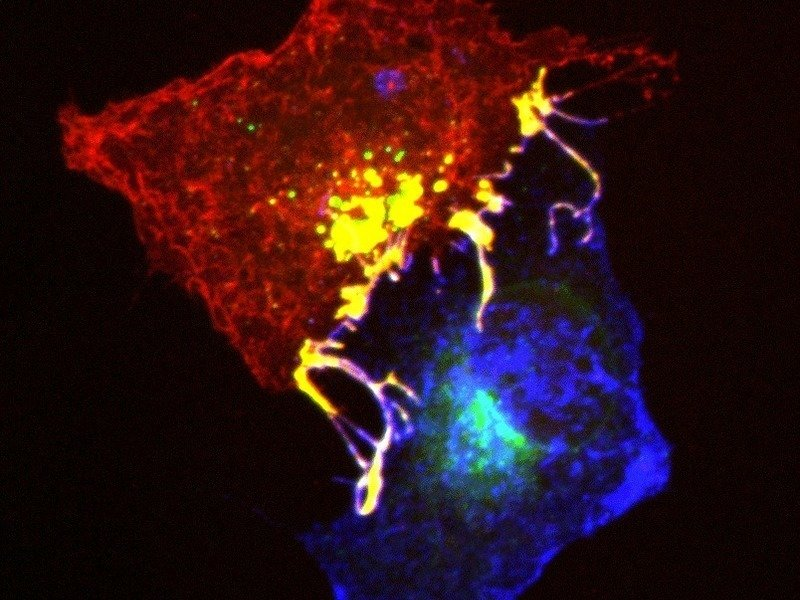 Ephrins (blue) and Ephs (red) form complexes (yellow) at cell contact points.