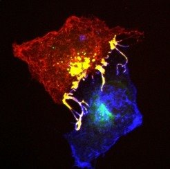 Ephrins (blue) and Ephs (red) form complexes (yellow) at cell contact points. To enable the cells to separate from each other, they are pulled into on