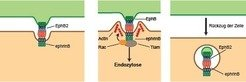 Left: Ephrin and Eph receptors are found on the surface of almost all cells. Centre: When cells come into contact with each other, the two proteins fo