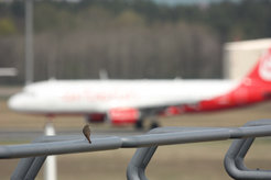 Redstart at Tegel Airport: The birds stop singing altogether if the noise level exceeds a certain threshold.