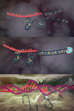 Top: The Cas9 enzyme needs two RNA-molecules to find its target: the so-called CRISPR-RNA, with a recognition sequence for a certain DNA sequence (red), and tracrRNA. Center: The two RNA molecules can be merged – this makes it easier to use CRISPR-Cas9 for research purposes. Bottom: The CRISPR-RNA, together with its recognition sequence, attaches itself to a suitable DNA sequence, identifying the interface for Cas9. This is how genes can be cut out or new ones inserted.