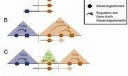 Berliner Forscher beschreiben, wie Verdopplungen im Erbgut die dreidimensionale Struktur des Genoms beeinflussen