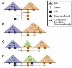 A) Schematische Darstellung zweier TADs im gesunden Genom. <br />B) Die Duplikation befindet sich vollständig innerhalb einer TAD (Intra-TAD), die übe