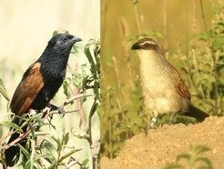 Male black coucal (left) and white-browed coucal (right).