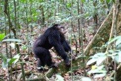 Schimpansen halten in Konflikten gegen Rivalen zusammen.