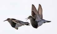 Speed Dating: Promiscuous pectoral sandpipers sample breeding sites along thousands of kilometres