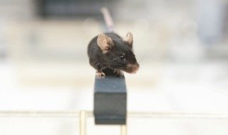 The mouse is a good model organism in science, not only because mice are small and easy to look after.