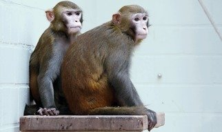 In Germany, research involving monkies is only allowed under observation of strict legal regulations.