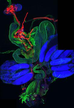 <strong>Abb. 3:</strong> Das Nervensystem und die inneren Organe interagieren, um beispielsweise physiologische Zustände zu kommunizieren. IR76b Nerve