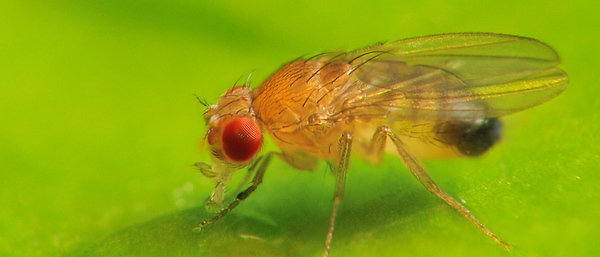 The fruit fly as a model organism