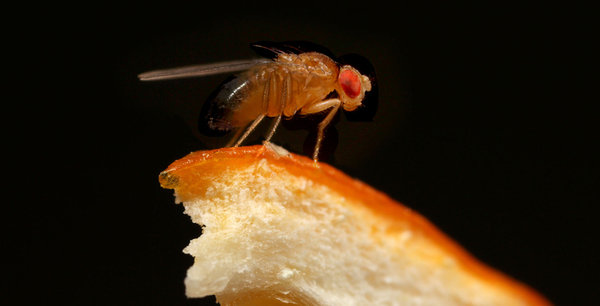 Why do scientists investigate flies?