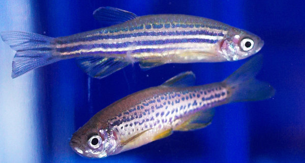 Why do researchers investigate zebrafish?