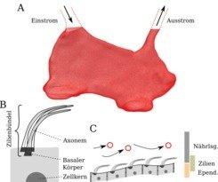 <strong>Abb. 1:</strong> Schematische Darstellung des dritten Hirnventrikels und der Zilien in der Ependyma. A: 3D Rekonstruktion des ventralen Teils