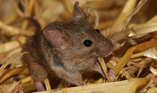 Mice make up the majority of vertebrates in the animal research facilities of the Max Planck Institutes.