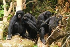 Bonobos during a grooming session.