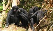 Warfare may explain differences in social structures in chimpanzees and bonobos