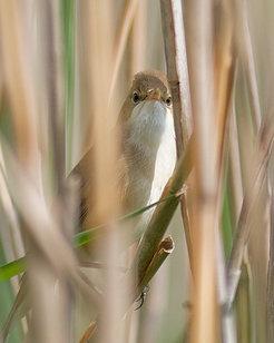 Nicht allen Vogelarten in Deutschland geht es so gut wie dem Teichrohrsänger: Er <span>brütet im Schilfröhricht der Verlandungszone größerer und klein