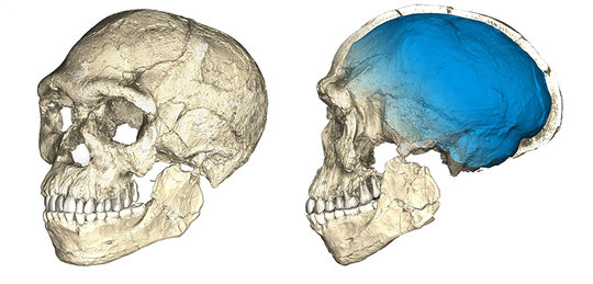 The first of our kind. Two views of a composite reconstruction of the earliest known <em>Homo sapiens</em> fossils from Jebel Irhoud (Morocco) based on micro computed tomographic scans of multiple original fossils. Dated to 300 thousand years ago these early <em>Homo sapiens</em> already have a modern-looking face that falls within the variation of humans living today. However, the archaic-looking virtual imprint of the braincase (blue) indicates that brain shape, and possibly brain function, evolved within the <em>Homo sapiens</em> lineage.