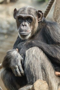 Chimpanzees provide food to conspecifics – but only if those previously proved to be cooperative themselves.