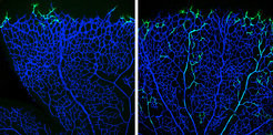 <p>The progeny of tip cells is incorporated into arteries: genetically labelled tip cells (green) in a vascular plexus (blue) of the retina of a six-day-old mouse (left: twelve hours after the beginning of the experiment). After 96 hours, most of the cells are located in the arteries but not in the veins (right).</p>