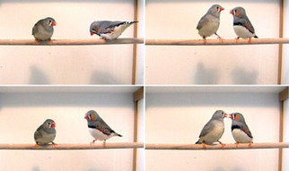 Mutation speeds up sperm of zebra finches