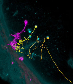 Researchers can activate individual neurons in the zebrafish brain with light (magenta) and observe which neighboring cells are connected to the neuro