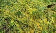 Dodder: a parasite involved in the plant alarm system