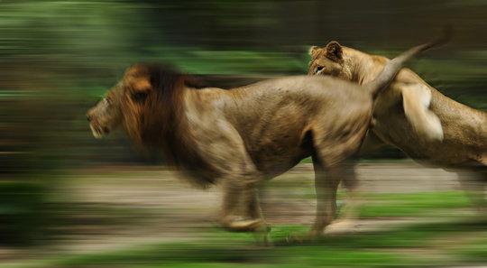Löwen sind Meister der Jagd.