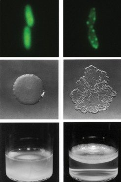 "Left: Bacteria in which the fwsR-gene (green) is located in the cytoplasm (top) grow as ""smooth"" colonies (centre) in the broth phase (bottom). <br />"