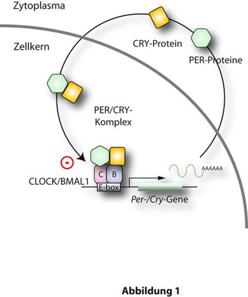 Das Prinizip des molekularen Uhrwerks im Nucleus Suprachiasmaticus.  Die PER- und CRY-Proteine bilden Komplexe im Zytoplasma, welche zurück in den Zel