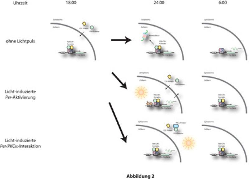 Zwei unterschiedliche Signalwege steuern das Verstellen der zirkadianen Uhr durch Licht.  Obere Reihe: Ohne Lichtexposition wandern zu Beginn der Nach