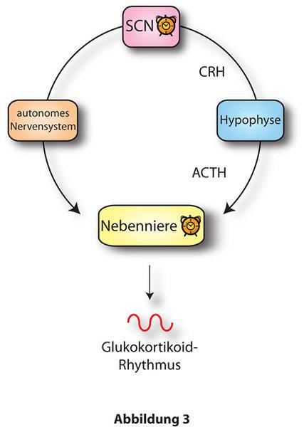 Zusammenspiel von SCN- und Nebennierenuhr in der Regulation der Gukokortikoidsekretion.  Der SCN reguliert die Produktion von Glukortikoiden in der Ne