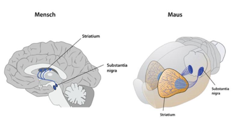 Das betroffene Hirnareal. Die Nervenzellen der <i>Substantia nigra</i> stellen eine wichtige Verbindung zum Striatum, einem Teil des Großhirns, her (g