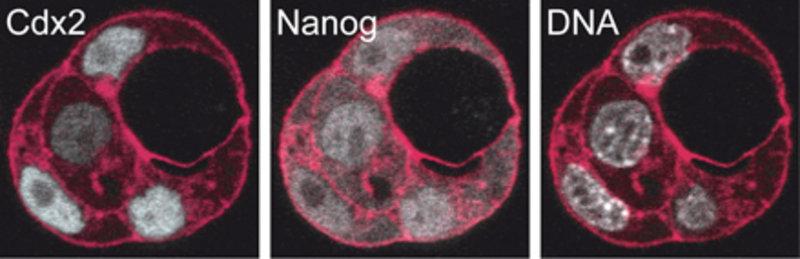 """Aus dem 8-Zell-Stadium isolierte Zellen teilen sich und organisieren sich selbst zu """"Mini-Blastozysten"""": Zellen mit viel Cdx2 (weiß, links) orientiere"""