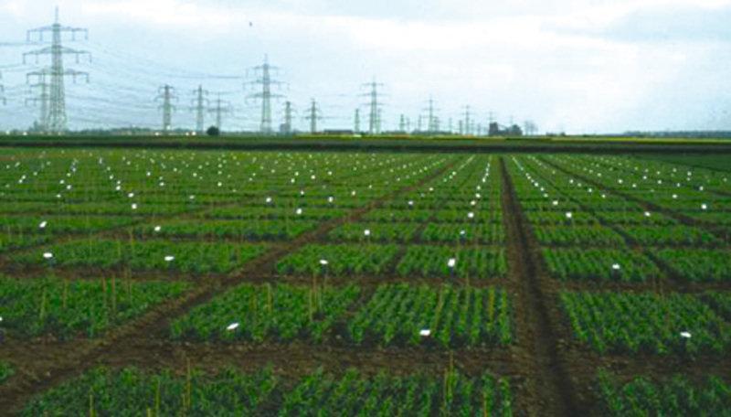 Feldversuch zur Prüfung der agronomischen Leistung von Rückkreuzungslinien aus der Kreuzung Sommergerste x Wildgerste. Die Geschwisterlinien werden in