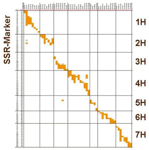 Graphische Darstellung der Genotypen von 54 Introgressionslinien (ILs) der Gerste. Dargestellt sind die mit Mikrosatellitenmarkern (SSR) bestimmten gr