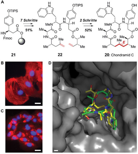 A) Totalsynthese und Strukturbeweis von Chondramid C durch festphasengestützten Aufbau und E-selektive Ringschlussmetathese. B) Fluoreszenzmikroskopis