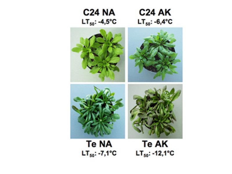 Die Arabidopsis thaliana-Akzessionen C24 und Tenela (Te). C24 ist eine Laborakzession, der keine genaue geographische Herkunft zugewiesen werden kann.