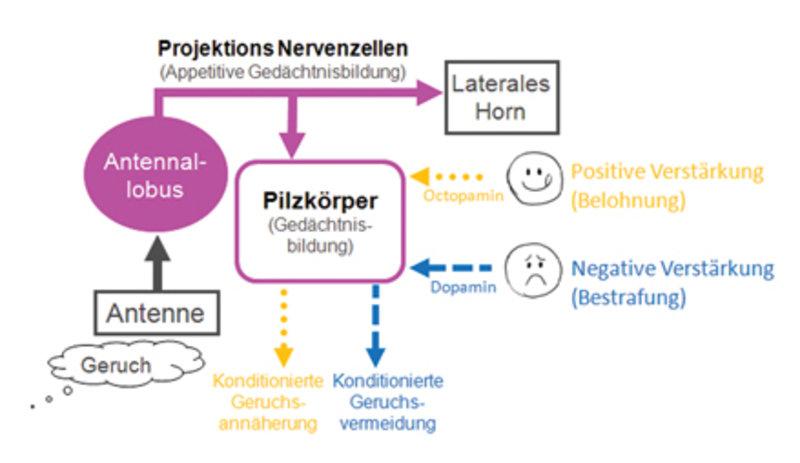 Vereinfachtes Diagramm der Nervenzell-Verbindungen, die es der Fruchtfliege erlauben, Geruchs-Erinnerungen zu bilden. Die Fliege nimmt einen Geruch üb