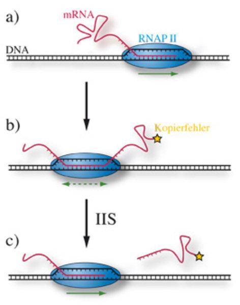 Transkription von mRNA: In der | Max-Planck-Gesellschaft