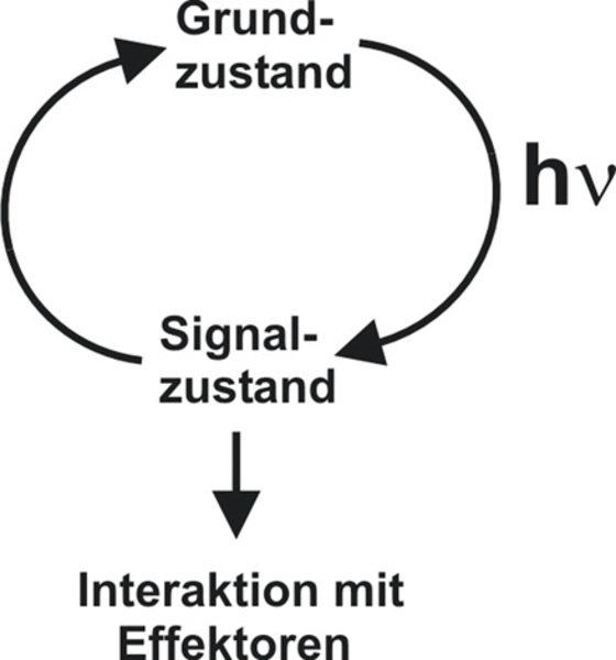 Photozyklus: Ein funktioneller Photorezeptor kann zwischen zwei Hauptzuständen wechseln, einem dunkeladaptierten Grundzustand und einem lichtinduziert
