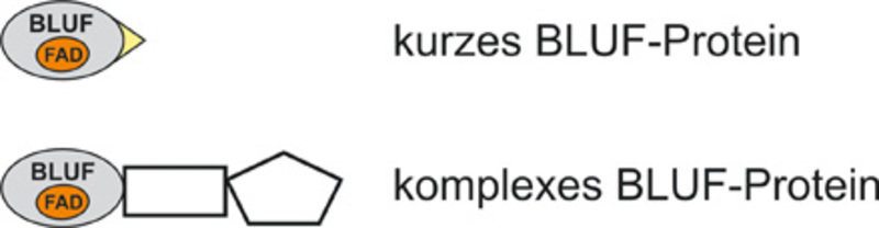 Zwei Klassen von BLUF-Proteinen: Kurze BLUF-Proteine besitzen neben der Rezeptoreinheit nur einen kleinen weiteren Abschnitt (gelb), während der BLUF-