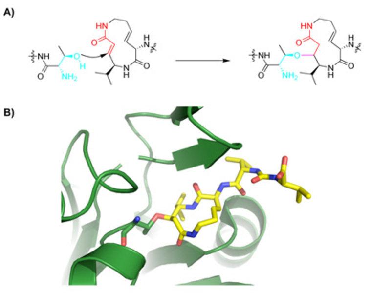 Mechanismus der Proteasomhemmung durch Syringolin A a) Nucleophiler Angriff auf das α,β-ungesättigte Amidsystem von Syringolin A führt zu einer irreve
