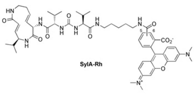 Fluoreszenzmarkierung von Syringolin Die Synthese eines fluoreszierenden Syringolin-A-Derivates ermöglichte Markierungsstudien komplexer Proteome.